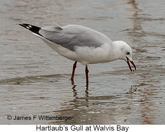 Hartlaub's Gull - © Laura L Fellows and Exotic Birding Tours