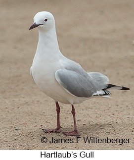 Hartlaub's Gull - © James F Wittenberger and Exotic Birding LLC
