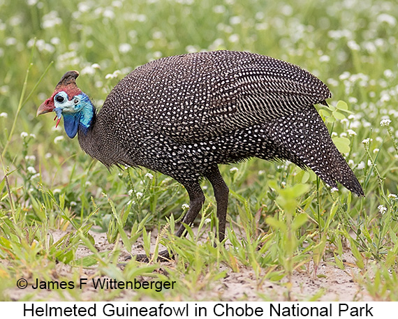 Helmeted Guineafowl - © The Photographer and Exotic Birding LLC