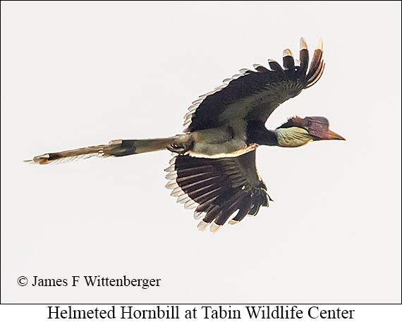 Helmeted Hornbill - © James F Wittenberger and Exotic Birding Tours