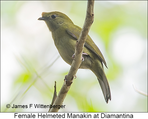 Helmeted Manakin - © James F Wittenberger and Exotic Birding LLC