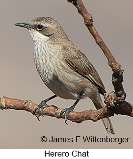 Herero Chat - © James F Wittenberger and Exotic Birding LLC