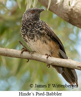 Hinde's Pied-Babbler - © James F Wittenberger and Exotic Birding Tours