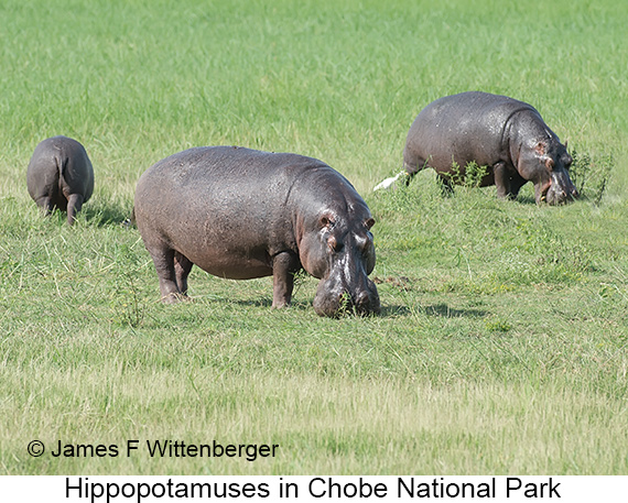 Hippopotamus - © The Photographer and Exotic Birding LLC