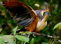 Hoatzin - © The Photographer and Exotic Birding LLC