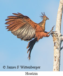 Hoatzin - © James F Wittenberger and Exotic Birding Tours