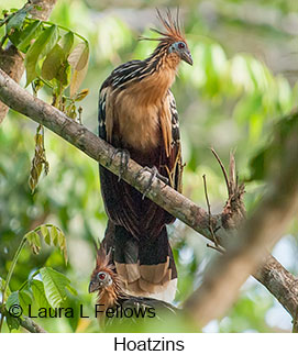 Hoatzin - © Laura L Fellows and Exotic Birding Tours