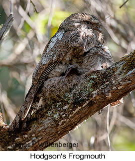 Hodgson's Frogmouth - © James F Wittenberger and Exotic Birding LLC