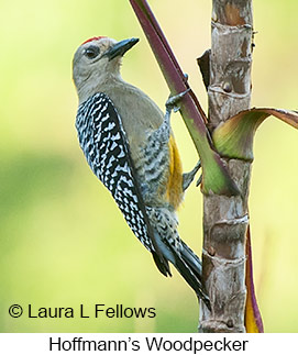 Hoffmann's Woodpecker - © Laura L Fellows and Exotic Birding Tours