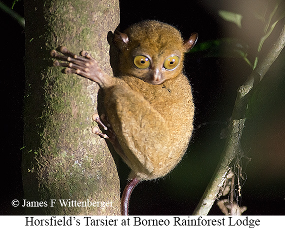 Horsfield's Tarsier - © The Photographer and Exotic Birding LLC