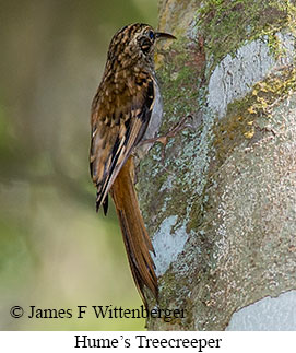Hume's Treecreeper - © James F Wittenberger and Exotic Birding Tours