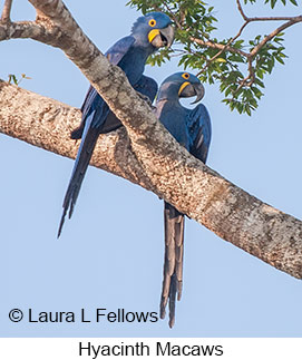 Hyacinth Macaw - © Laura L Fellows and Exotic Birding Tours