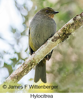 Hylocitrea - © James F Wittenberger and Exotic Birding Tours
