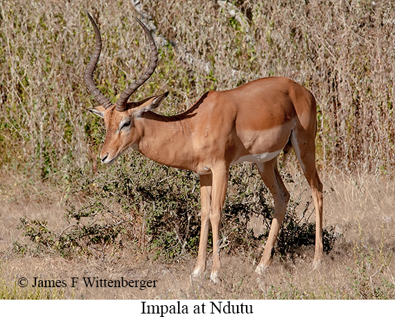 Impala - © James F Wittenberger and Exotic Birding Tours