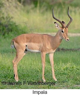 Impala - © James F Wittenberger and Exotic Birding LLC