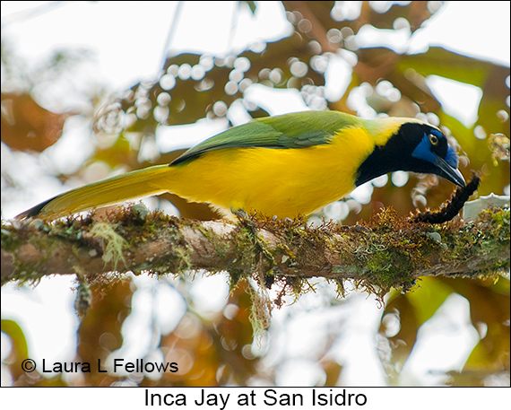 Green Jay - © Laura L Fellows and Exotic Birding Tours