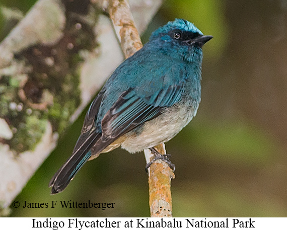 Indigo Flycatcher - © James F Wittenberger and Exotic Birding Tours