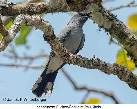 Indochinese Cuckooshrike - © James F Wittenberger and Exotic Birding Tours