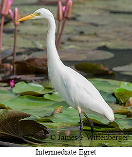 Intermediate Egret - © James F Wittenberger and Exotic Birding LLC