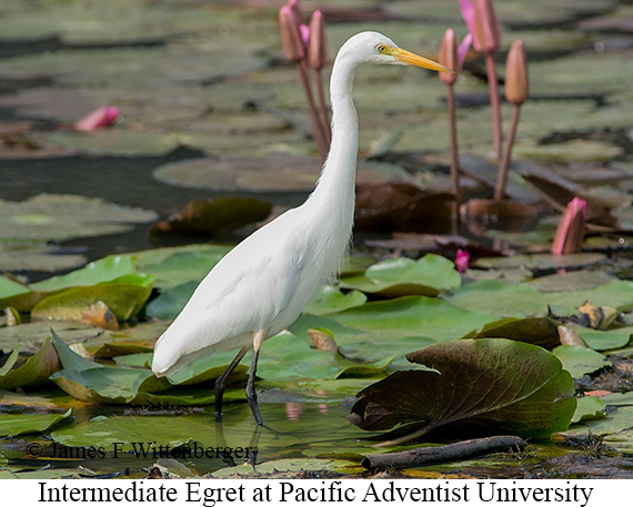 Intermediate Egret - © James F Wittenberger and Exotic Birding Tours