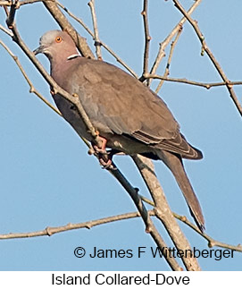 Island Collared-Dove - © James F Wittenberger and Exotic Birding Tours