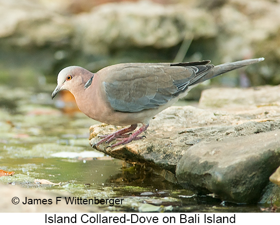 Island Collared-Dove - © The Photographer and Exotic Birding LLC