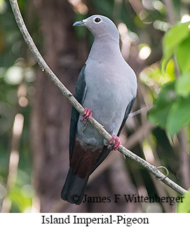 Island Imperial-Pigeon - © James F Wittenberger and Exotic Birding LLC