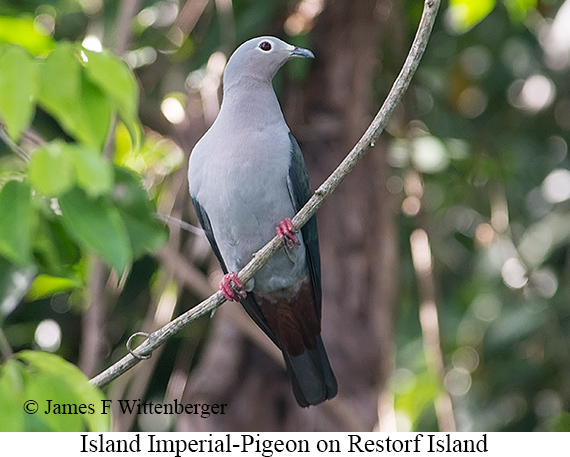 Island Imperial-Pigeon - © James F Wittenberger and Exotic Birding Tours