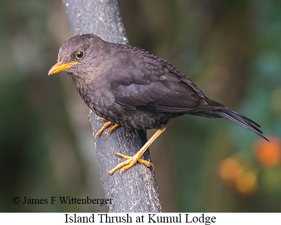 Island Thrush - © James F Wittenberger and Exotic Birding Tours