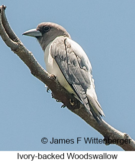Ivory-backed Woodswallow - © James F Wittenberger and Exotic Birding Tours