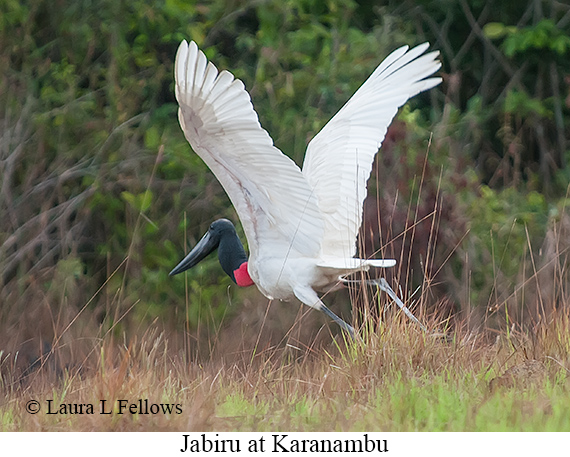 Jabiru - © The Photographer and Exotic Birding LLC