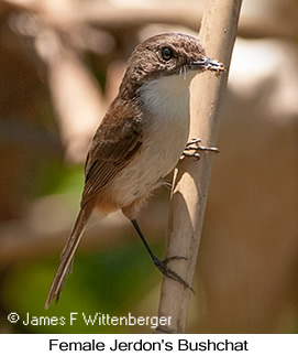 Jerdon's Bushchat - © James F Wittenberger and Exotic Birding Tours