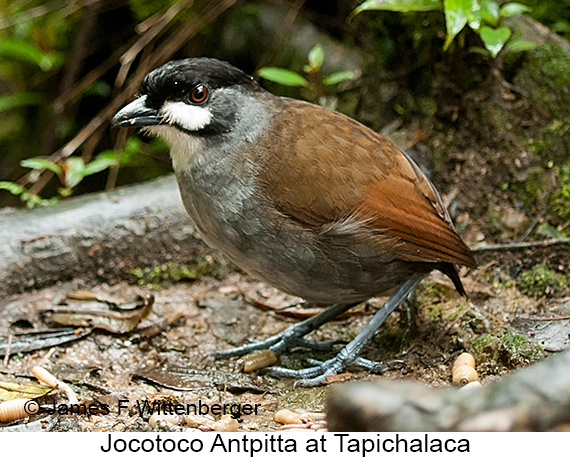 Jocotoco Antpitta - © James F Wittenberger and Exotic Birding LLC