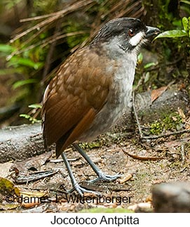 Jocotoco Antpitta - © James F Wittenberger and Exotic Birding Tours