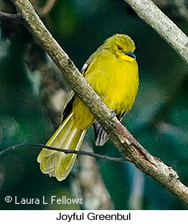 Joyful Greenbul - © Laura L Fellows and Exotic Birding LLC