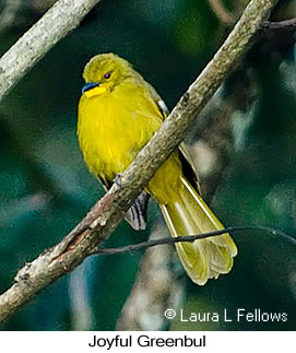 Joyful Greenbul - © Laura L Fellows and Exotic Birding Tours