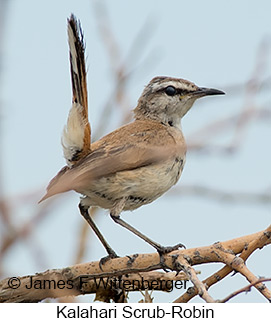 Kalahari Scrub-Robin - © James F Wittenberger and Exotic Birding LLC