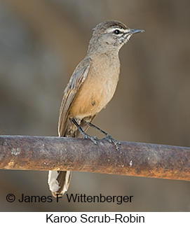 Karoo Scrub-Robin - © James F Wittenberger and Exotic Birding LLC