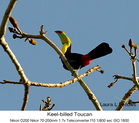 Keel-billed Toucan - © Laura L Fellows and Exotic Birding Tours