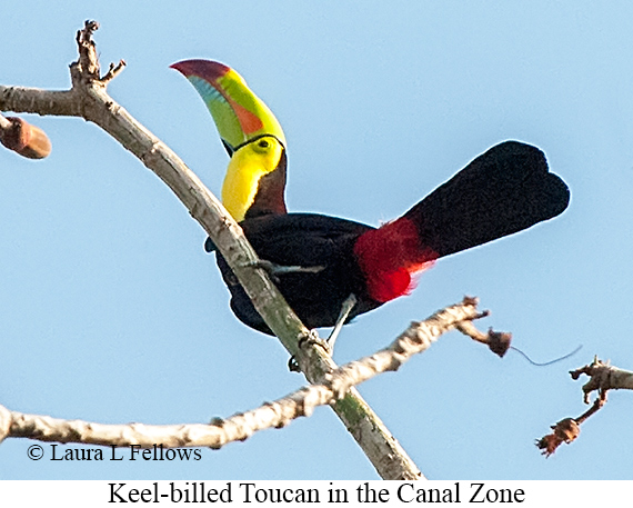 Keel-billed Toucan - © Laura L Fellows and Exotic Birding LLC