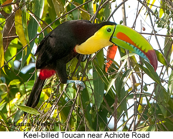 Keel-billed Toucan - © The Photographer and Exotic Birding LLC