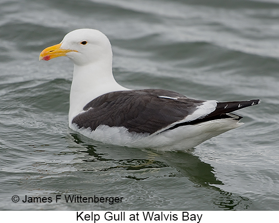 Kelp Gull - © Laura L Fellows and Exotic Birding Tours
