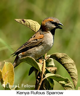 Kenya Rufous Sparrow - © Laura L Fellows and Exotic Birding Tours