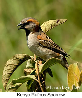 Kenya Rufous Sparrow - © Laura L Fellows and Exotic Birding LLC