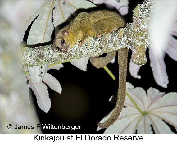 Kinkajou - © James F Wittenberger and Exotic Birding LLC