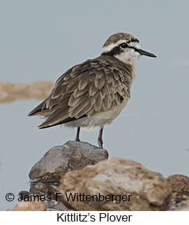 Kittlitz's Plover - © James F Wittenberger and Exotic Birding LLC
