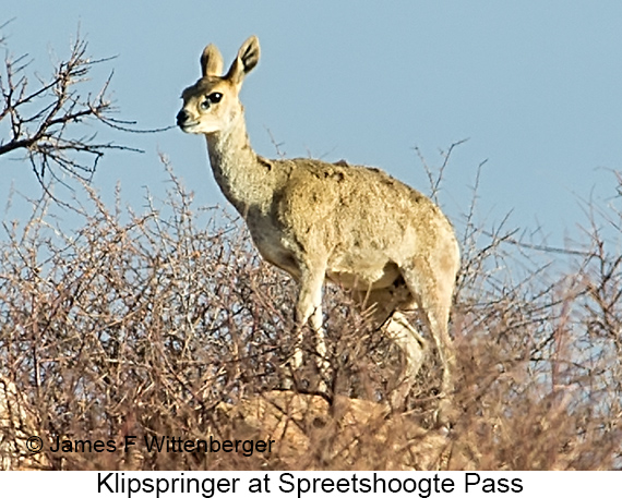 Klipspringer - © Laura L Fellows and Exotic Birding Tours