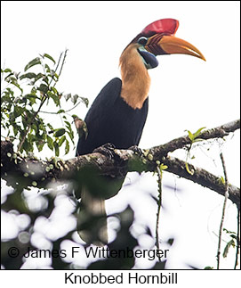 Knobbed Hornbill - © James F Wittenberger and Exotic Birding Tours