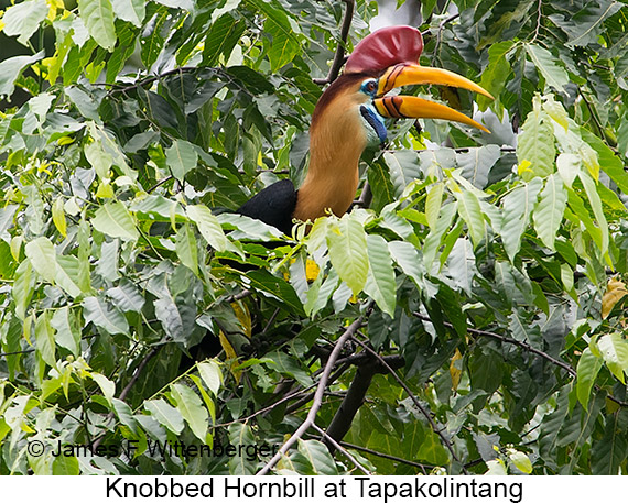 Knobbed Hornbill - © James F Wittenberger and Exotic Birding LLC