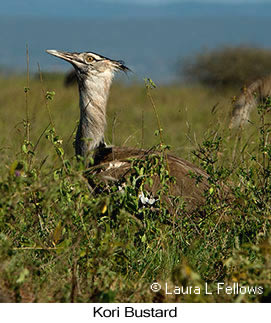 Kori Bustard - © Laura L Fellows and Exotic Birding tours
